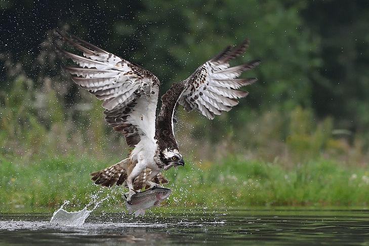 Fishing Osprey with a rainbow trout for breakfast - Rothiemurchus, Aviemore