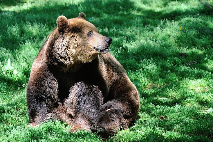 European Brown Bear - Dartmoor zoo