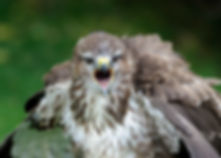 Wet Buzzard - International centre for birds of prey (ICBP)