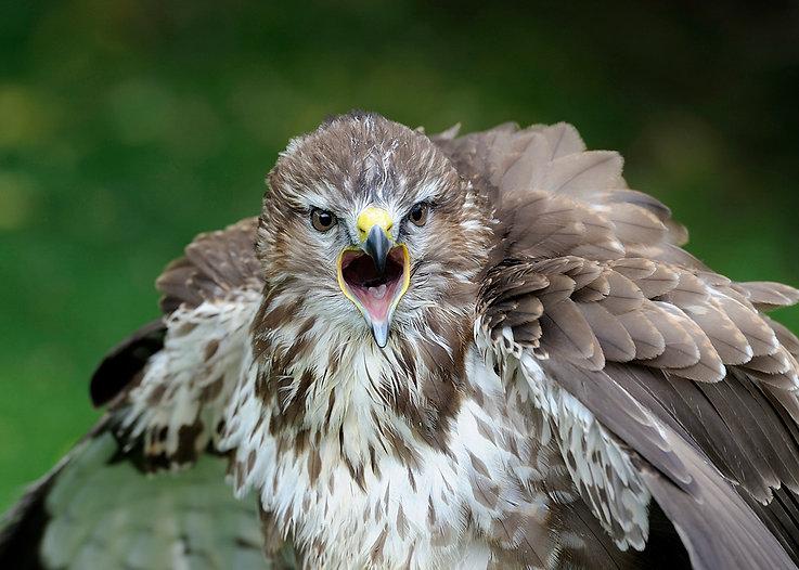 Wet Buzzard -International centre for birds of prey (ICBP)