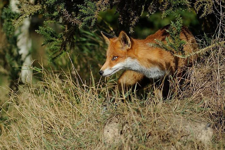 Fox - British wildlife centre