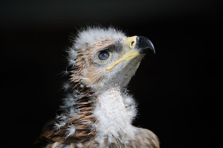 Indian tawny eagle -International centre for birds of prey (ICBP)
