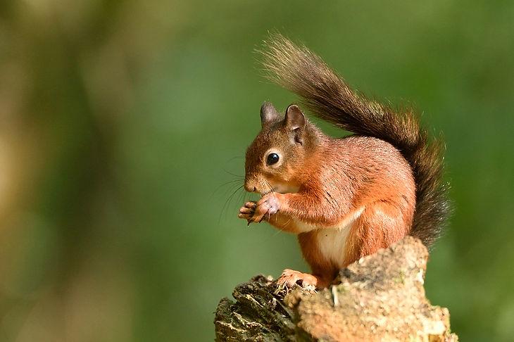 Red squirrel - Eskrigg nature reserve, Lockerbie