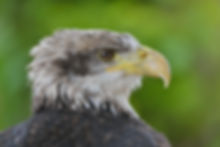 Cremorne, Bald eagle - International centre for birds of prey (ICBP)