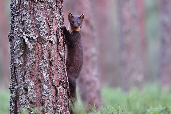 Pine Marten, cairngorm