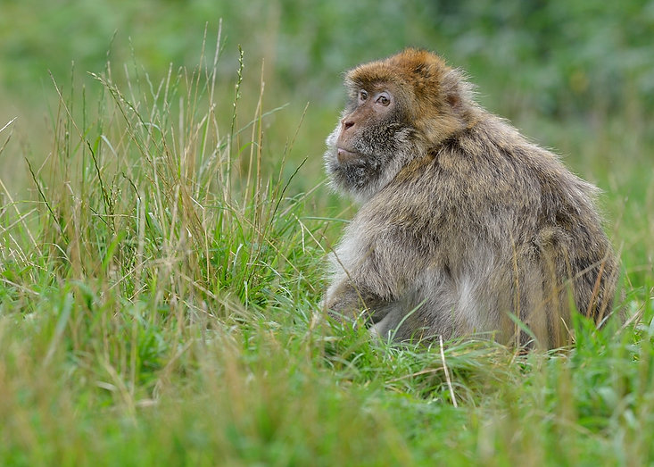 Barbary macaques,Trentham Monkey Forest.