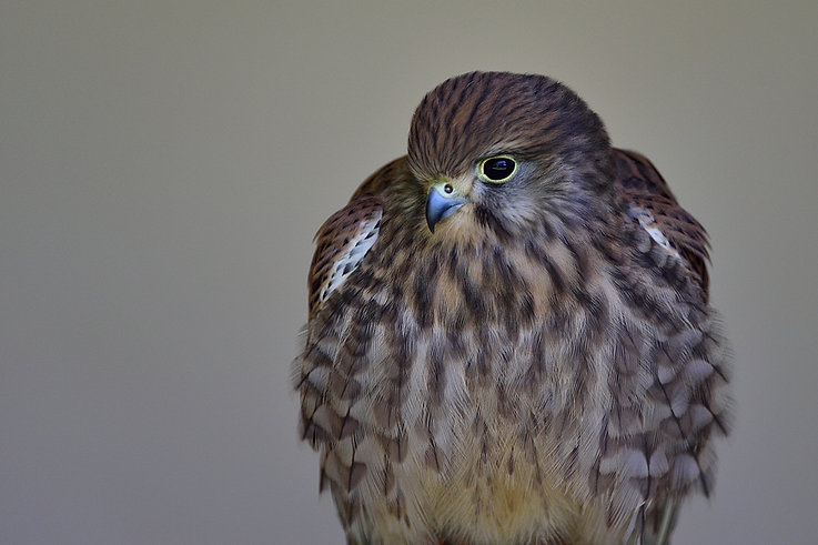 Female Kestrel - International centre for birds of prey (ICBP)