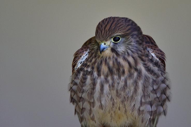 Female Kestrel -International centre for birds of prey (ICBP)