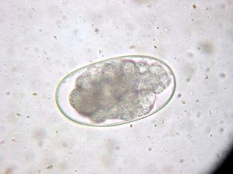 tapeworm eggs.jpg