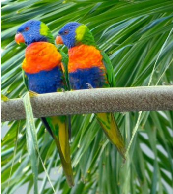 Adding yet more color to the area are the rainbow-colored lorikeets. At dusk, hundreds return from the forest to perch in a select few trees across the street from a Thai restaurant. Male-female pairs shout over each other in a deafening cacophony.