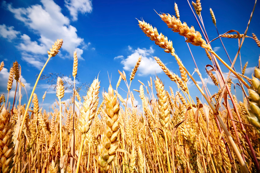 Wheat-field-and-blue-sky-with-white-clouds-000019427885_Large.jpg
