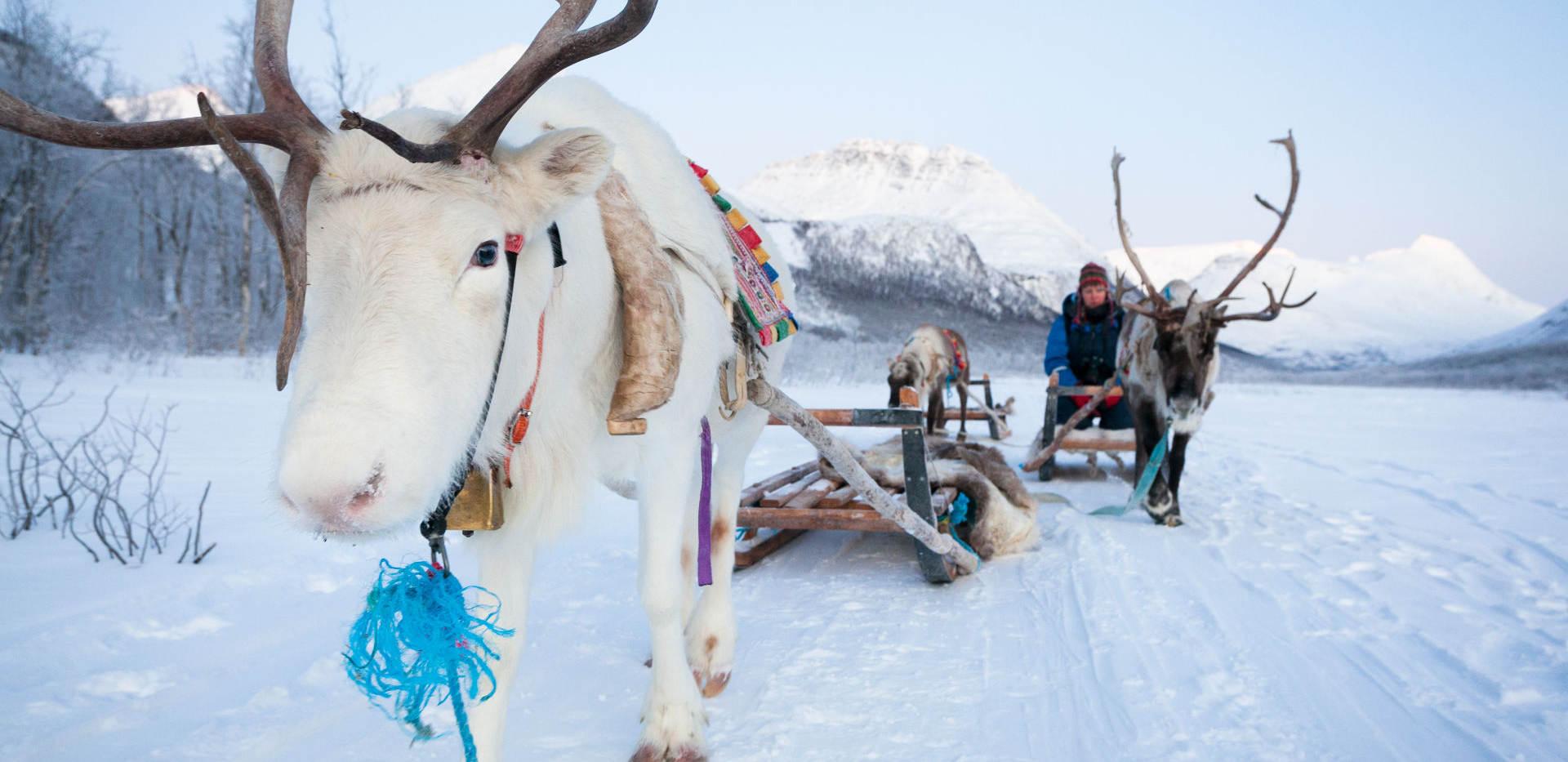 tours-reindeersledding-white-reindeer-ko