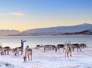 tromso_reindeer-4.jpg