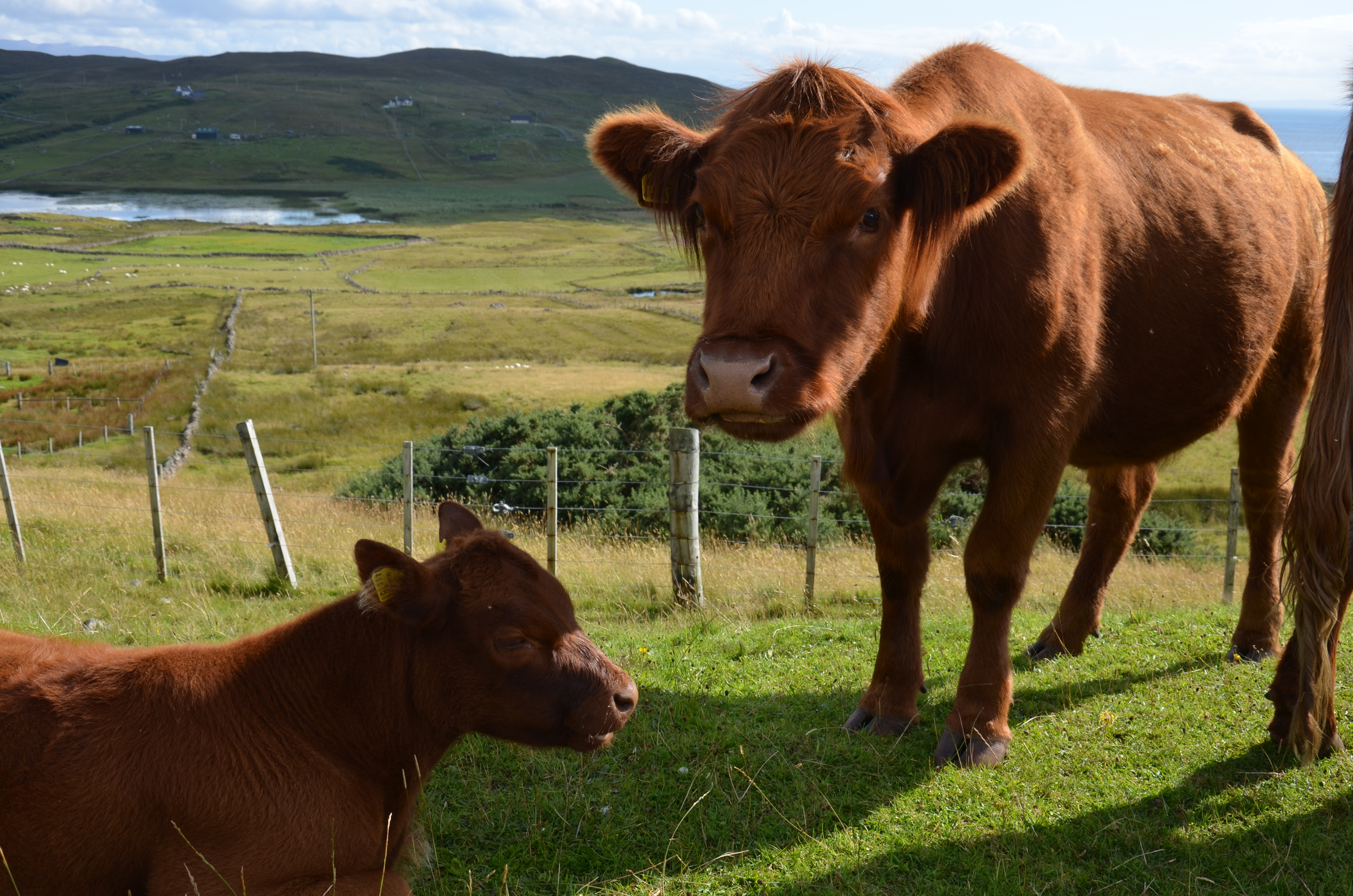 4 - la natura - mucche delle Highlands