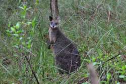 WALLABY A PHILLIP ISLAND