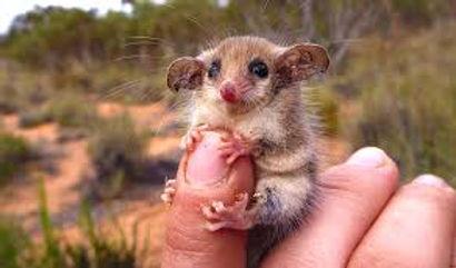 pigmy possum.jpg