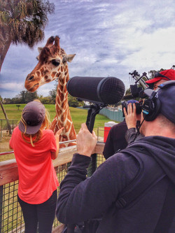 Filming a giraffe at Busch Gardens