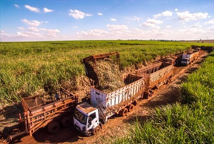 Sugarcanefield.jpg