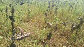 Desde el campo de Mozambique