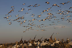 Spring Snow Goose Hunts Kansas Prairie Thunder Outfitters