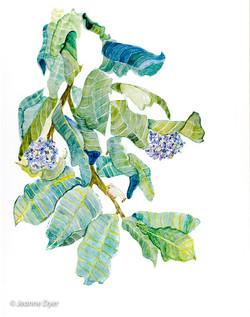 Common Milkweed-0100