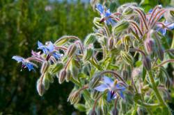 Borage Herb in Flower