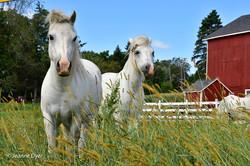 Horses on Springfield Road-8368