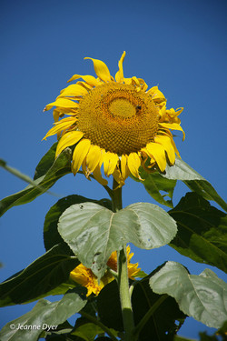 Lone Sunflower-2267