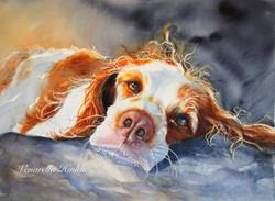 Dog Days. (Brittany Spaniel)