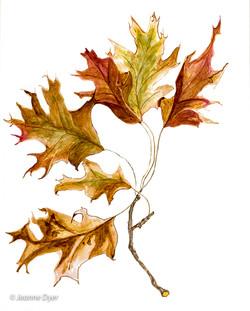 Red Oak Leaves-0153