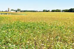 Soybean Field-3583