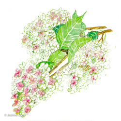 Oakleaf Hydrangea-0187