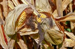 Corn Husks-3317