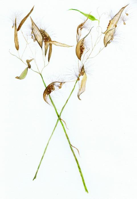 Field Milkweed