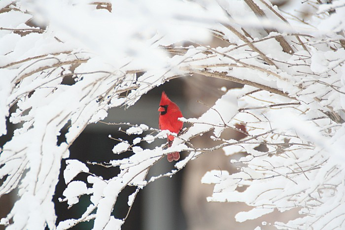 Cardinal Snow Cave