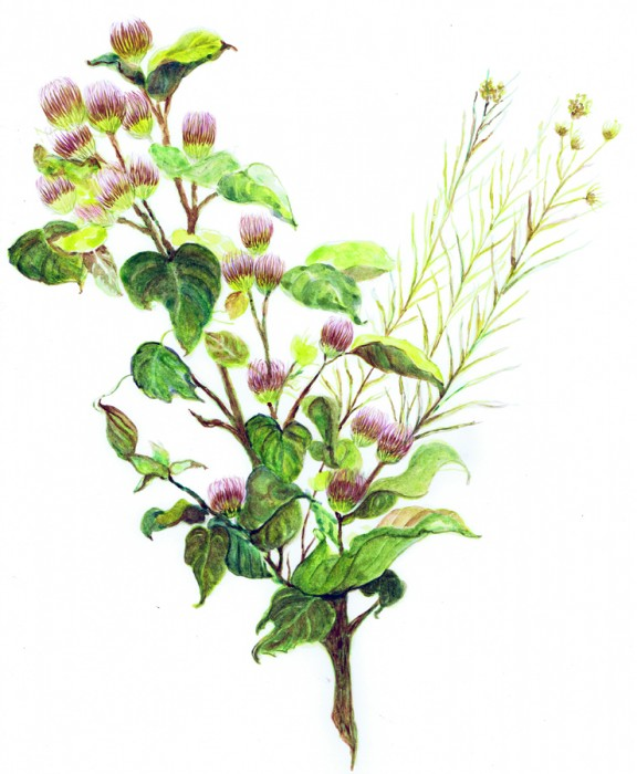 Common Burrdock-Spring