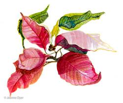 Poinsettia-0136