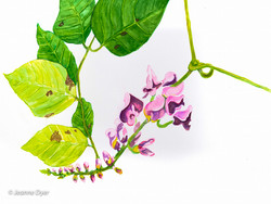 Forest Pea