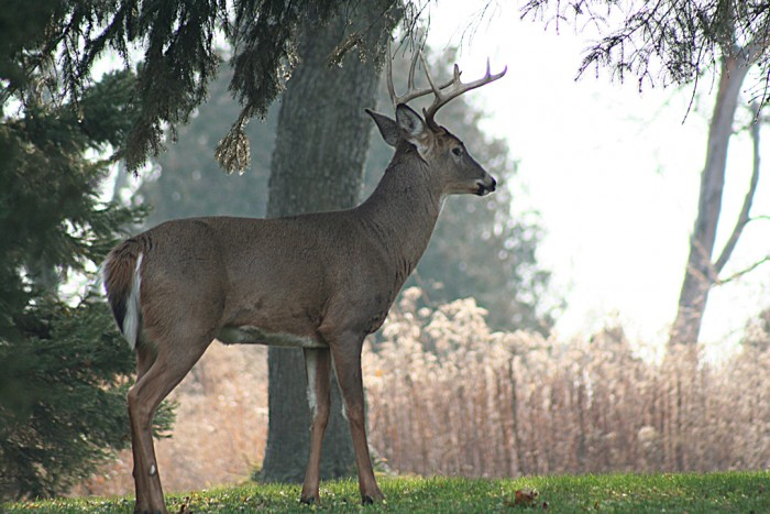 Whitetail Stag