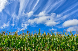 Corn, Sky and Clouds-8396