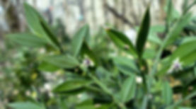 Ruscus_aculeatus-800x445.jpg