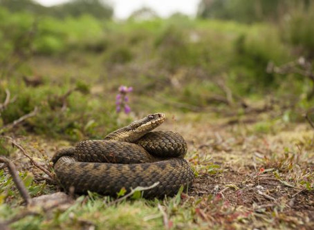 A spring time Danger with the UK's Adder!!