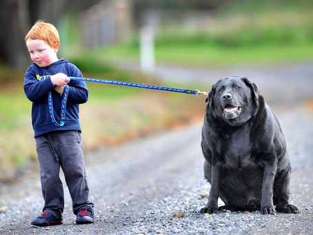 Dog obesity and the benefits of regular walking