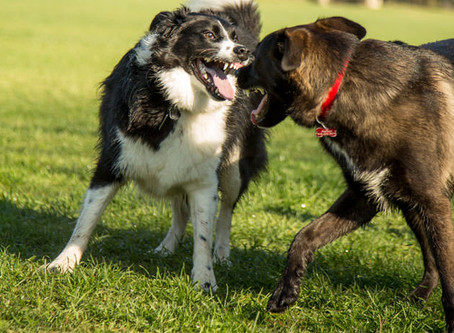 Harris Hounds Guide to Dog fights