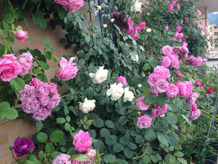 満開のバラの季節