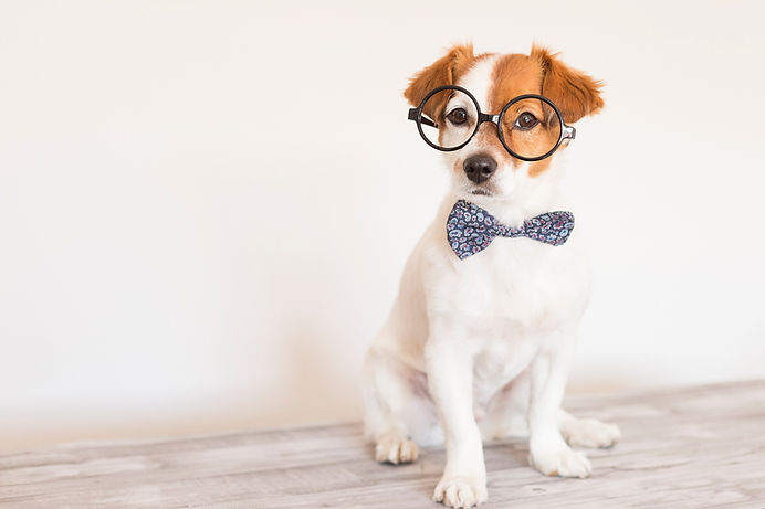 cute young small white dog wearing a modern bowtie and glasses. Sitting on the wood floor