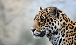 jaguar-img_0313.jpg