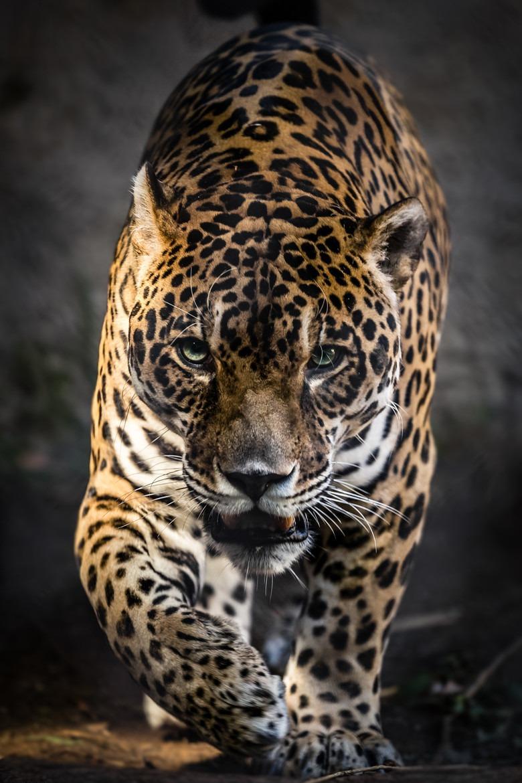 The Jaguar Man - Miriam Clements