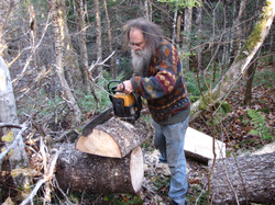 getting some new wood from a fallen spruce