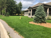 Blue Spruce and Sod